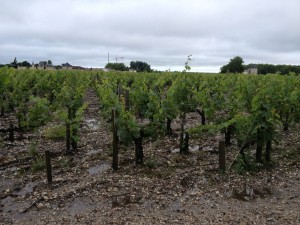 Wet vines at Palmer