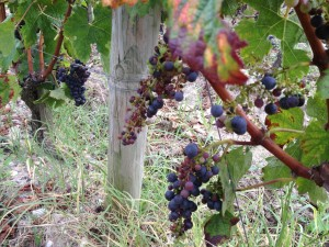 Uneven maturity in grape bunches (young Merlot)